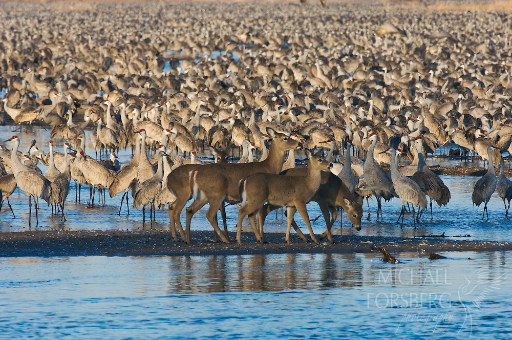 At sunrise, white-tailed deer try to cross the river channel through a huge roost of migrating Sandhill cranes. Platte River, Nebraska.