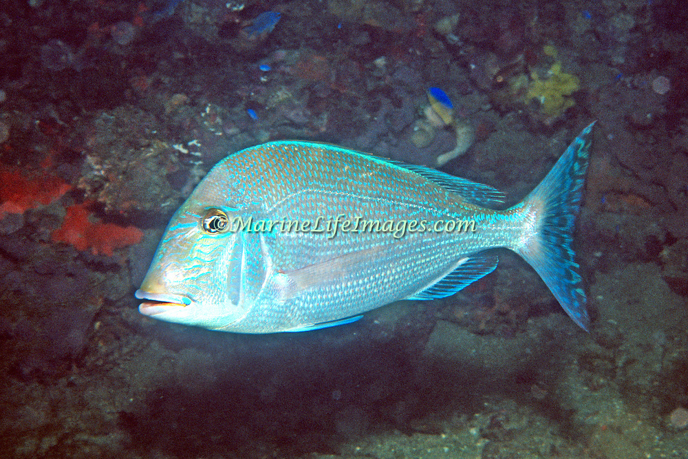 Littlehead Porgy hover just above reefs and adjacent sand areas in Florida; picture taken Panama City, FL.