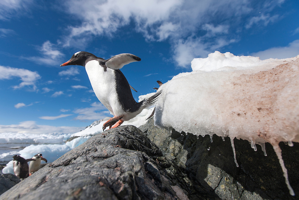 Antarctica, Cuverville Island, Gentoo Penguin (Pygoscelis papua) hopping from snowbank to rocky shoreline below rookery