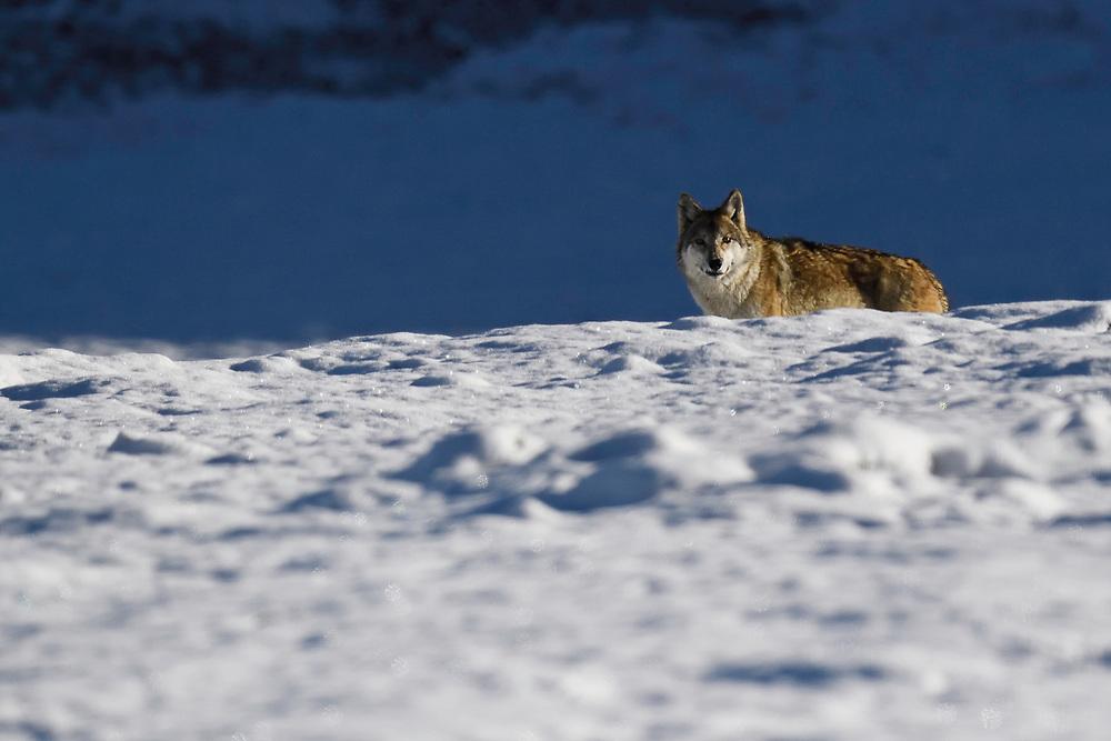 Tibetan wolf, Canis lupus, Keke Xili, Changtang, Tibetan Plateau, Qinghai, China
