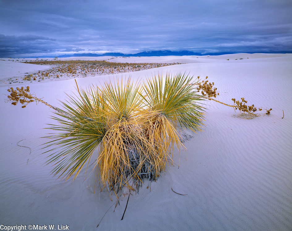 Sugar Yucca thrives as another storm approaches. White Sands National Park, Chihuahuan Desert, New Mexico.