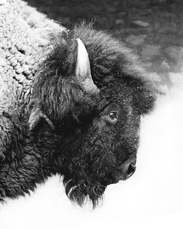 Portraiture of a herd buffalo bull in his final days.  The life of a herd bull is often one of challenge.  This buffalo bull was injured by a younger, stronger bull and his injuries are not healing.  Extended medical treatment has not helped and, unfortunately, he will soon lose his battle.