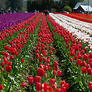Wooden Shoe Tulip Farm. Woodburn, Oregon.
