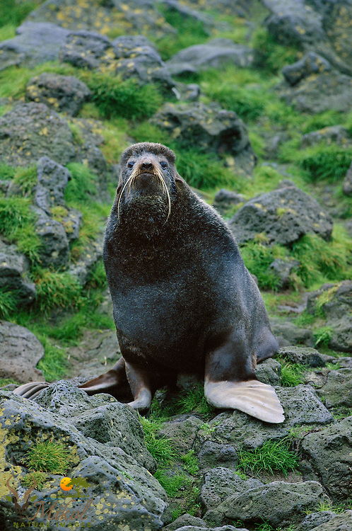 Northern Fur Seal Bull warily looking at camera with basalt and grass in background