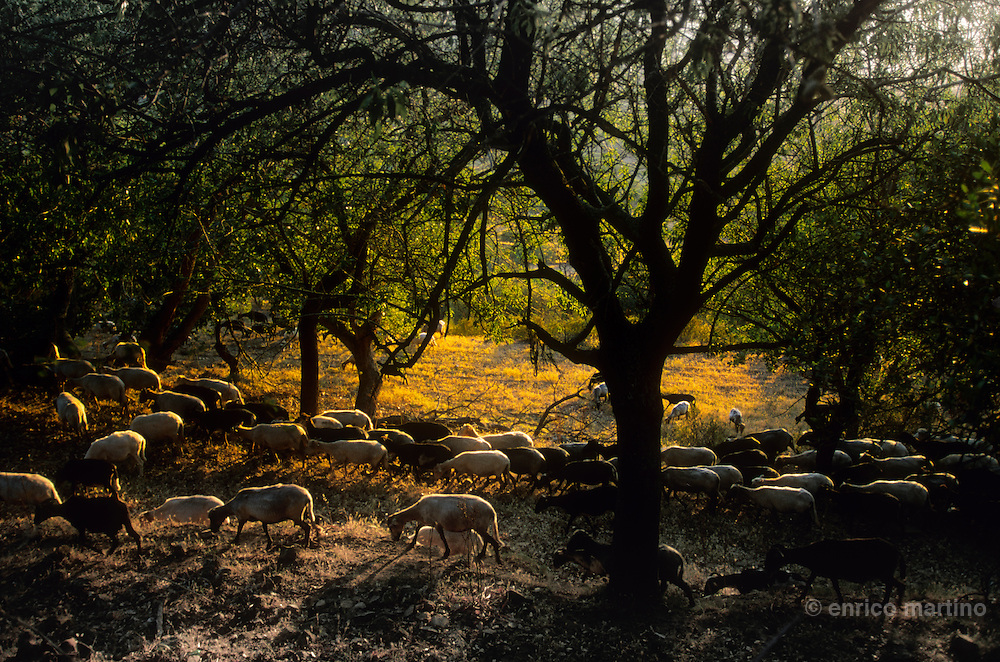 Balagne, sheeps near Aregno village.