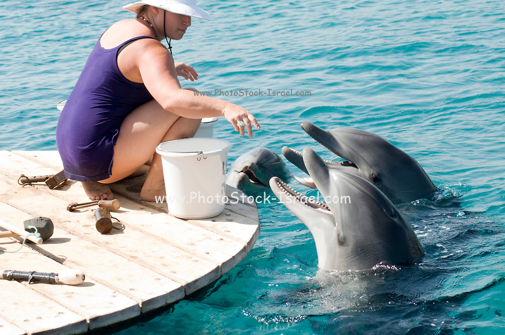 Israel, Eilat, Dolphin Reef Beach, Common Bottlenose Dolphin (Tursiops truncatus) trainer feeding the dolphins
