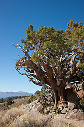 """Juniper Tree 2"" - This very old juniper tree was photographed along Monitor Pass, California."