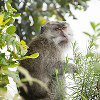 Indonésie, Petites îles de la Sonde Occidental, Lombok, parc national de Gunung Rinjani, macaque crabier (Macaca fascicularis) // Indonesia, West Nusa Tenggara, Gunung Rinjani National Park, Crab-eating Macaque or  Long-tailed Macaque (Macaca fascicularis)