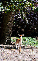 Chateau de Sauvage, France. Startled gazelle looking out from the edge of the trees.