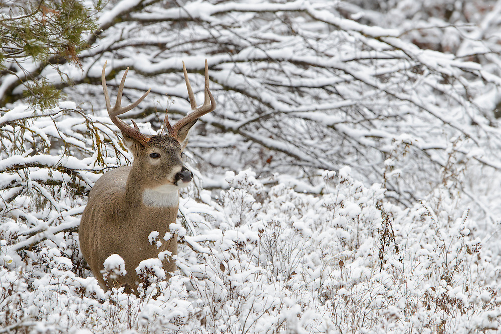White-tailed Buck in fresh snow, Western Montana