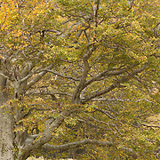 common beech, Fagus sylvatica, detail with first autumn colored leaves