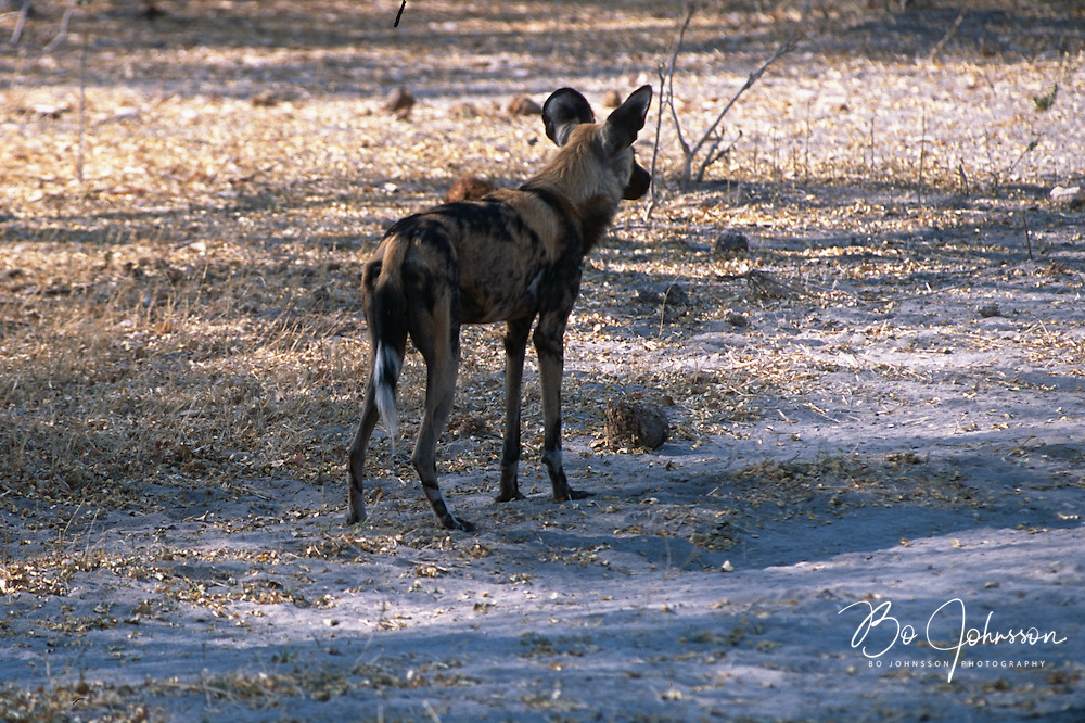 African wild dog (Lycaon pictus) in the morning. The Khwai side of Moremi in the Okavango Delta, Botswana. <br /> October 2003.