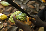 Daniel Apia Kouame Gboko cracks cocoa pods on his cocoa plantation near the town of Moussadougou, Bas-Sassandra region, Cote d'Ivoire on Monday March 5, 2012.