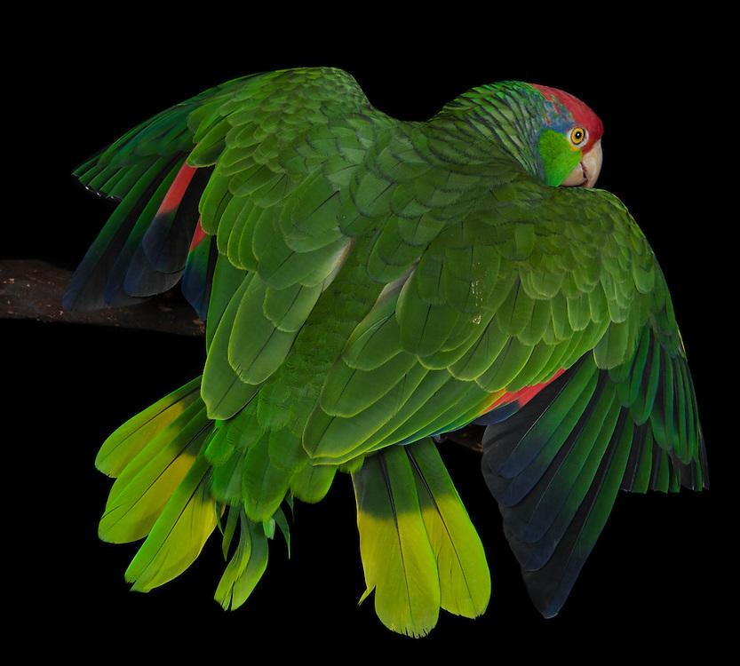 Red Headed Amazon Parrot, (Amazona viridigenalis); Captive; credit: Pandemonium Aviaries/M.D.Kern