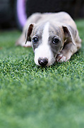 pedigree Whippet‎ puppy on the grass