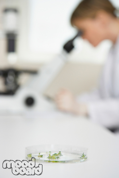 Scientist using microscope in laboratory focus on petri dish in foreground