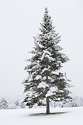 A beautifully shaped tree snow covered in winter