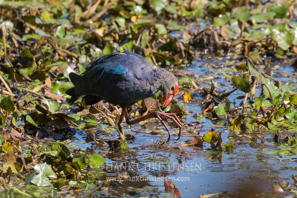 A grey-headed swamphen picks leaves off if its foot, Tamil Nadu, India.