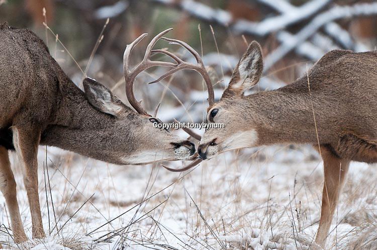 two muledeer bucks fighting clashing antlers, sparring, conflict