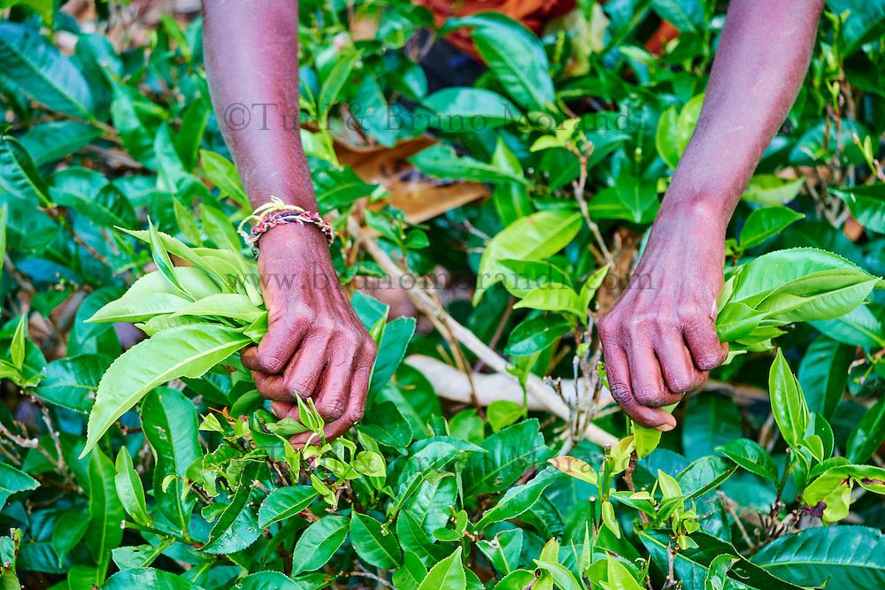 Sri Lanka, province de l'Uva, Haputale, plantations de thé, cueillette de thé, cueilleuses tamoules // Sri Lanka, Ceylon, Central Province, Haputale, tea plantation in the Highlands, Tamil Women Tea Picker picking tea leaves