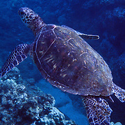 Sea Turtle swimming over coral, elevated view