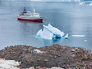 Gentoo Penguins (Pygoscelis papua) gather in a breeding colony on the continent of Antarctica near blue icebergs at Neko Harbor, Graham Land, the north portion of the Antarctic Peninsula. We anchored here with the red and white ship M/S Explorer in February 2005 and made a wet landing using Zodiac boats.