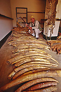 Elephant tusks confiscated from poachers, Tsavo National Park, Kenya.