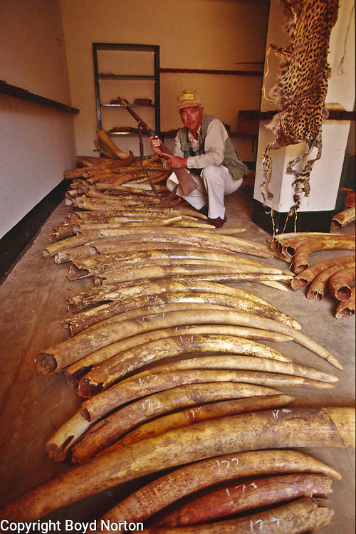 Elephant tusks confiscated from poachers, Tsavo National Park, Kenya.