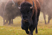 Bison in the prairies on the North Rim of Grand Canyon National Park in Arizona.