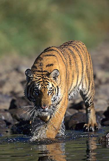Bengal Tiger, (Panthera tigris)  Inhabits India.Captive Animal.