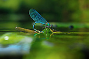 Banded Demoiselle (Calopteryx splendens) male gripping female while female is laying eggs underwater river north Germany | Gebänderte Prachtlibelle (Calopteryx splendens), Männchen über Wasser und Weibchen für die Eiablage schon halb in das wasser eingetaucht.