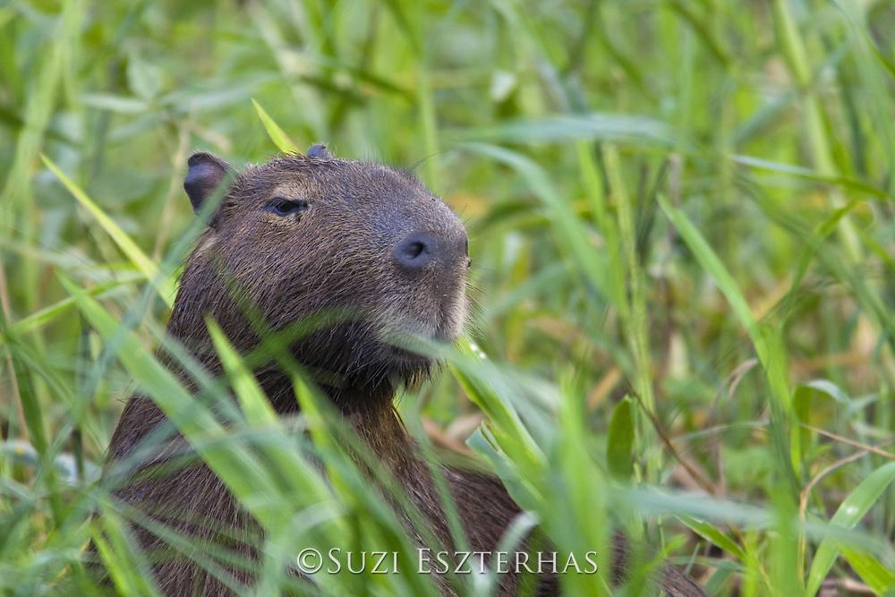 Capybara<br /> Hydrochaeris hydrochaeris<br /> Pantanal, Brazil