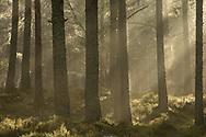 Sun filtering through misty pine forest at dawn, Alvie Estate, Scotland.