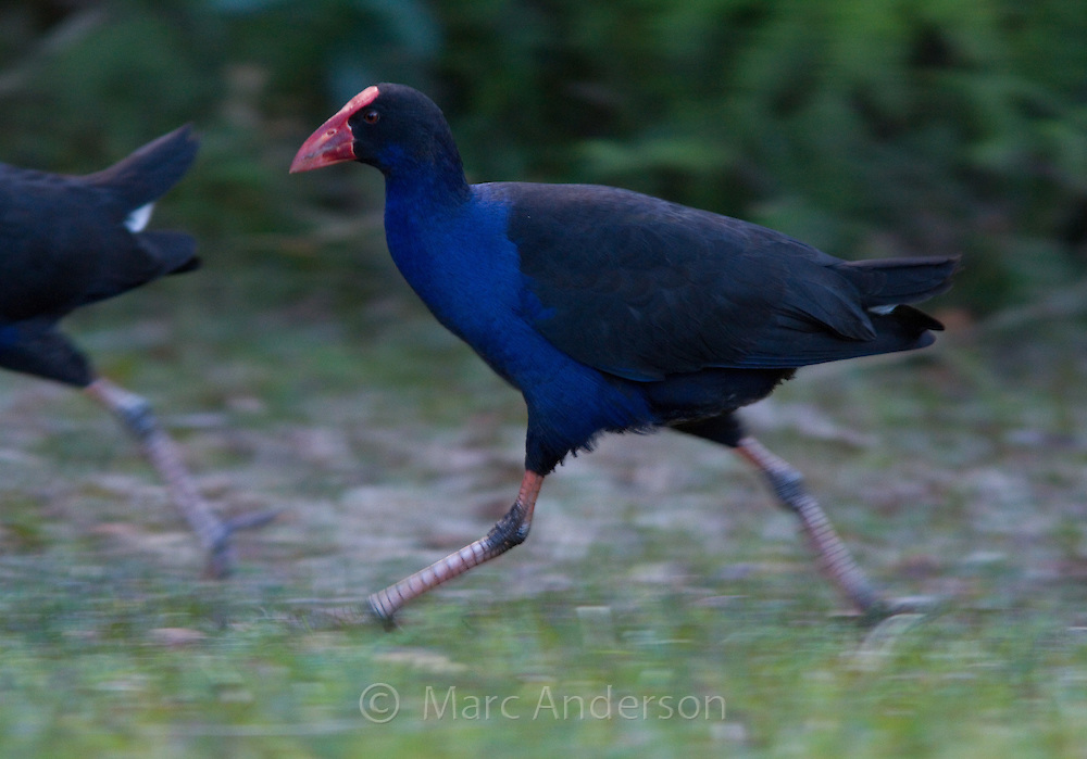 Purple Swamphen (Porphyrio porphyrio), Royal National Park, Sydney, Australia