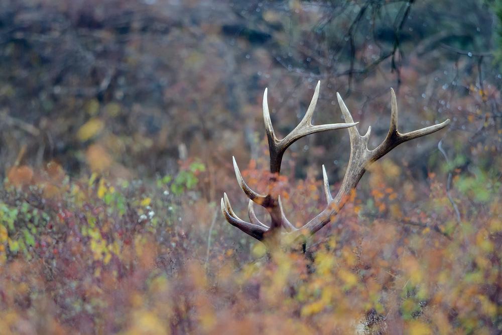 A Bull elk stays hidden in fall foliage, Western Montana