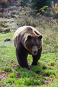 Braunbär, Bärengehege, Tierfreigelände Neuschönau am Nationalparkzentrum Lusen, Nationalpark Bayerischer Wald, Bayern, Deutschland | Brown bear, bear enclosure, animal enclosures Neuschönau at the National Park Centre Lusen, national park Bavarian Forest, Bavaria, Germany