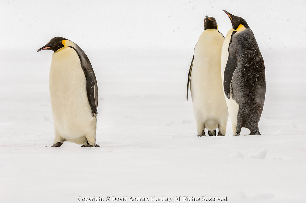 An Emperor Penguin (Aptenodytes forsteri) walks away from two courting penguins, Weddell Sea