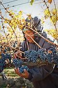 Harvest for Long Shadows Vintners