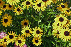 Daisies in full bloom grab your attention with both the bright yellow color contrasting on the textured brown center and the aroma