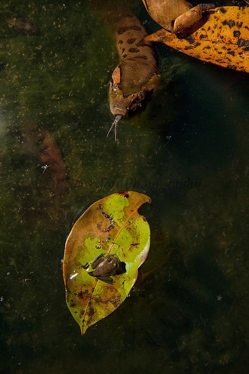 Green Anaconda (Eunectes murinus)<br /> Rainforest<br /> Rewa River<br /> Iwokrama Reserve<br /> GUYANA. South America<br /> RANGE: South America