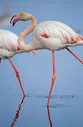 Greater flamingo (Phoenicopterus ruber).  Fuente de Piedra Lagoon. Málaga province, Andalusia, Spain.