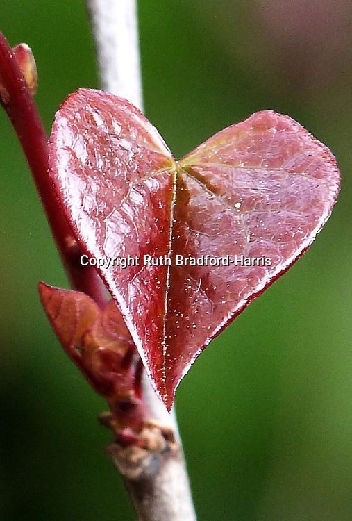 An exquisitely heart-shaped, almost spear-like tiny maroon-red, glossy young Cercis canadensis 'Forest Pansy' leaf. The leaf shown was only 1cm across.<br />