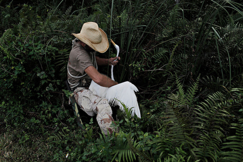 Great White Heron Rescue, The Everglades