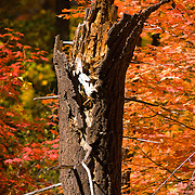 Remains of a tree surrounded by Fall color - Oak Creek Canyon, AZ