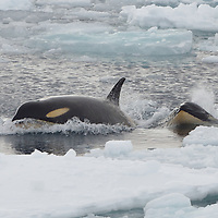 A female Orca and her daughter in the Ross Sea, Antarctica.