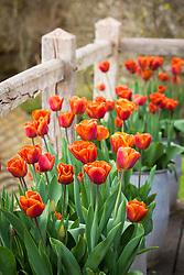 Tulipa 'Brown Sugar' in pots on Oast house greenstage
