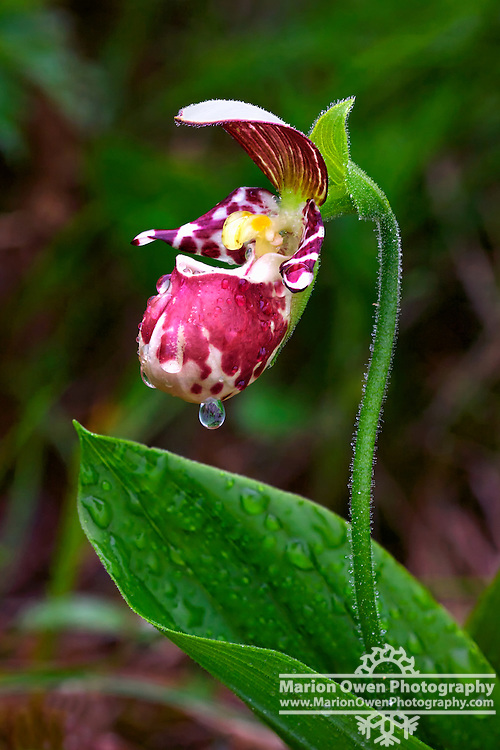Single water drop hangs from Lady's Slipper Orchid