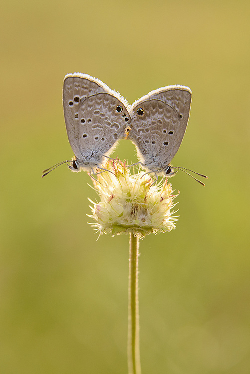 Reakirt&rsquo;s Blue Butterfly, Echinargus Isola;<br />