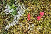 Reindeer Moss (cladonia rangiferina) is actually a species of lichen, here growing in a bed of a true moss  (a plant species of phylum bryophyta) in the fertile conditions near Matagamon Lake, Baxter State Park, Maine, USA
