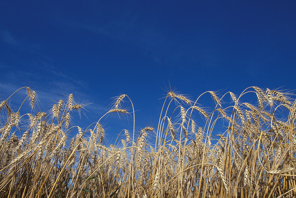 Canada, Alberta, Wheat field at harvest time under clear autumn skies near town of New Norway